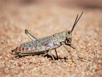 FAO issues a warning of the risk of locusts spread to the Horn of Africa, Egypt, Saudi Arabia and Yemen