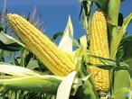 الذرة .... مصدر غني للكثير من المعادن الهامة في الجسم