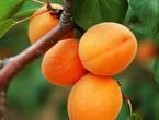 فاكهة المشمش في التراث الزراعي المشرقي
