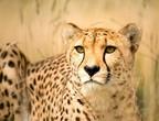 حيوانات عاشت على أرض السعودية وانتهت حياتها بالانقراض