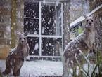 صورة: إلتقاء الكنغر والثلوج في استراليا