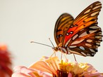 العثور على بوصلة مغناطيسية عند الفراشات